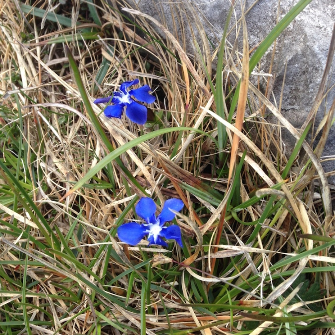 two gentians