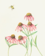 Coneflowers, color pencil on paper