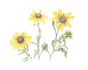 Rudbeckia, color pencil on paper