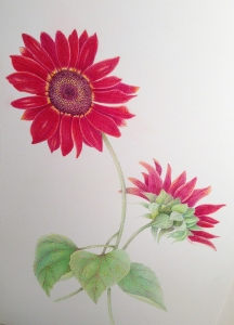 Red sunflower, color pencil on paper