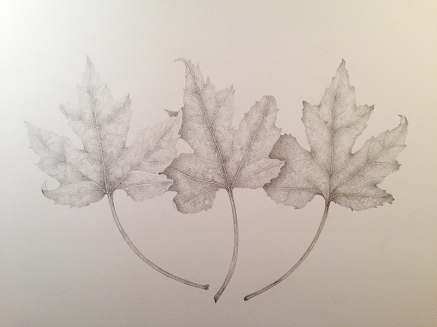 Maple leaves, graphite