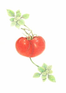 Tomato and basil, color pencil on paper
