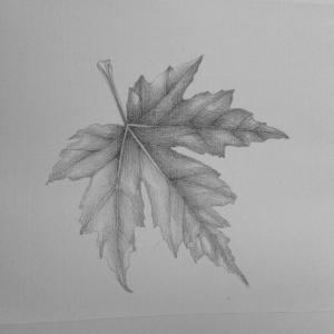 maple leaf 12-13