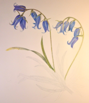bluebells in progress