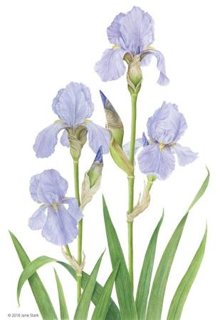 Stunning Irises by Jane Stark