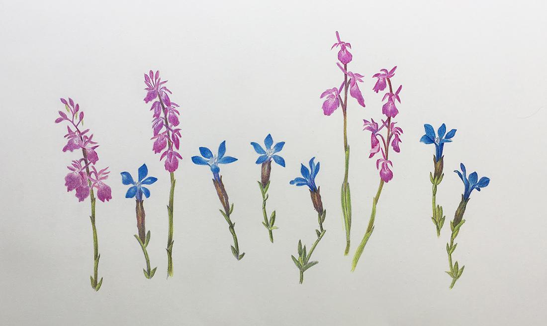 gentians-orchids
